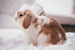 White and brown rabbit in snow Stock Photography
