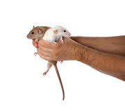 White and brown rats in hands Stock Photography