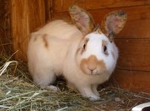 White and Brown Rabbit in Hutch. White and brown or red rabbit in wooden hutch on small farm Royalty Free Stock Image