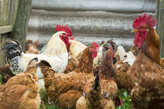 White and brown rooster with chickens Stock Photos