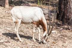 White brown schmitar horned oryx Royalty Free Stock Photography