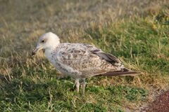 White brown seagull close up. A white-brown seagull takes a break Royalty Free Stock Photo