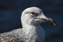 Young Seagull / Herring gull portrait head and face looking right stock photography