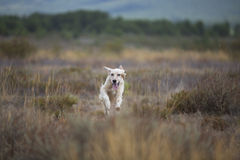 White and brown setter running Stock Photos