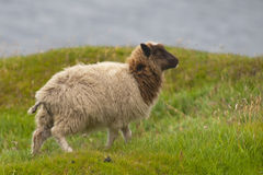 A white and brown sheep on the blue sea and grass background. In Iceland Royalty Free Stock Image