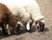 White and brown sheep. Stock Photography