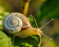 White and Brown Shell Snail on Green Leaf Stock Images