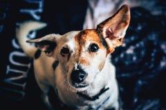 White Brown Short Coat Medium Dog Stock Images