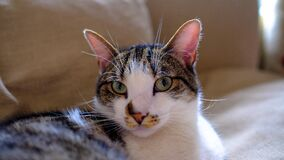 White and Brown Short Coated Hair Cat Royalty Free Stock Images