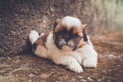 White and Brown Short Coated Puppy stock image