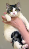 White with brown short-haired cat. In the hands Royalty Free Stock Photo