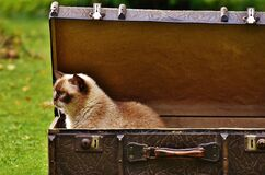 White and Brown Siamese Cat Inside Chest Box Stock Image