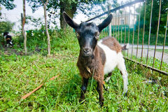 White and brown small goat Stock Images