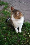 White and brown spotted Cyprus cat breed sitting on grass. Top view stock images