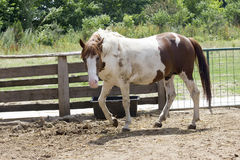 White and brown spotted horse Royalty Free Stock Images
