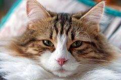 White and brown striped cat stock images