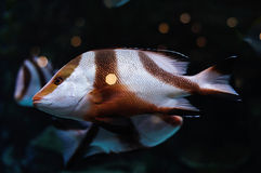 White and brown striped fish in salwater aquarium Royalty Free Stock Images