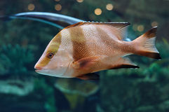 White and brown striped fish in salwater aquarium Royalty Free Stock Image