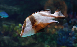 White and brown striped fish in salwater aquarium Royalty Free Stock Photos