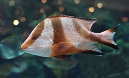 White and brown striped fish in salwater aquarium Stock Photos