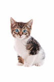 White and Brown tabby cat with blue eyes. A brown and white tabby kitten with blue eyes on a white background stock photography