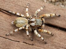 White and Brown Tarantula Stock Images