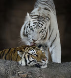 White And Brown Tigers Royalty Free Stock Photos