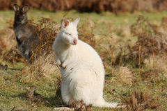 White an brown wallaby. Rare white albino wallaby in contrast with brown wallaby stock photography