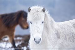 White wild horse looking in the camera Royalty Free Stock Photos