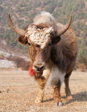 White and Brown yak on meadow Stock Images