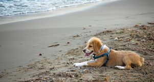 White and brown young Brittany Spaniel dog standing on sand beach after bathing in the sea