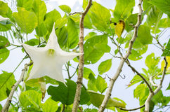 White Brugmansia flower Stock Photos