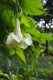 White Brugmansia on a tree with bright green leaves, on a natural background royalty free stock photo