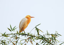 White bubulcus ibis sitting on bamboo tree. Pokhara, Nepal Stock Photos