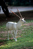 White buck- antelope. Close up of rare white buck- antelope Stock Image