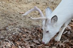 White Buck Close Up. White male deer the woods Royalty Free Stock Photography