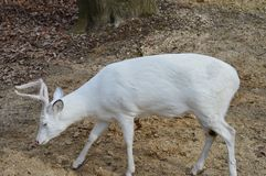 White Buck Close Up. White male deer the woods Stock Photos