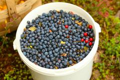 White bucket filled with blueberries. White bucket filled to the brim with ripe blueberries stock image