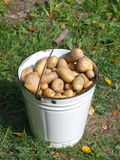 White bucket with new potatoes. White enamel bucket full new potatoes Royalty Free Stock Photos