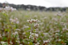 White buckwheat flower on a green field. Close-up of a flower in the park. royalty free stock images