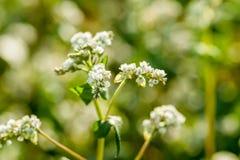 White Buckwheat Flower Stock Photos