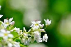 White Buckwheat flowers Stock Image