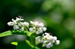 White Buckwheat flowers Stock Photos