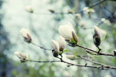 White bud of magnolia tree Stock Image