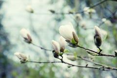 White bud of magnolia tree. In springtime stock image