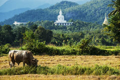 White buddha on the hill and havested field rice Royalty Free Stock Photos
