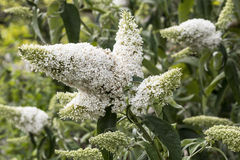 White Buddliea Royalty Free Stock Images