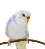 White budgerigars bird. Isolated on white background Royalty Free Stock Image