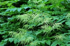 White buds at plants of meadowsweet. Filipendula ulmaria in garden with white buds in late spring Royalty Free Stock Photography