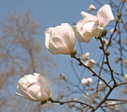 White buds Royalty Free Stock Images